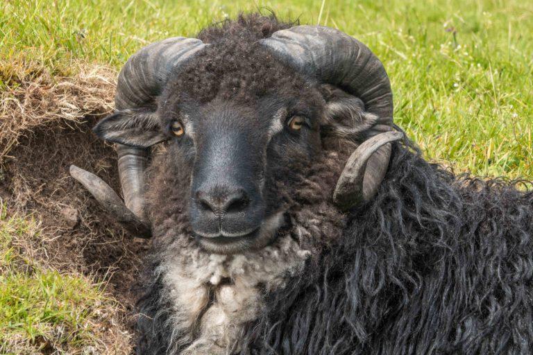 Die Schafsinseln