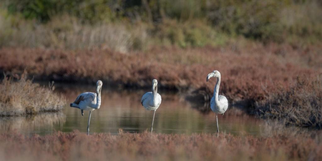 Osman-Aga Lagune Flamingo