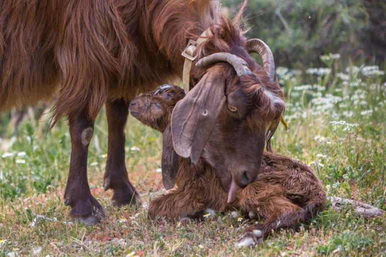 Baloo der Geburtshelfer